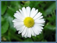 beauty remedies -camomile-flower